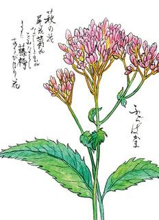 181010_ふじばかま.jpg