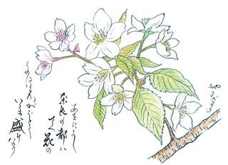 190501_やまざくら.jpg